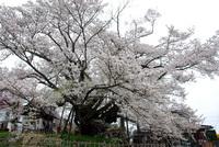 120430DSC_0005神代桜.JPG