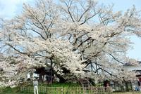 DSC_0004神代桜.JPG